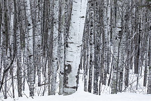 Balsam Poplar (Populus balsamifera) trees in winter, Superior National Forest, Minnesota  -  Benjamin Olson