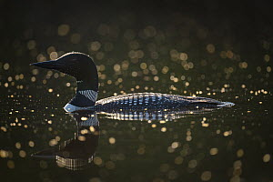 Common Loon (Gavia immer) among dead insects, Lutsen, Minnesota  -  Benjamin Olson