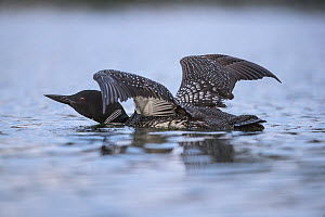 Common Loon (Gavia immer) stretching, Minnesota  -  Benjamin Olson