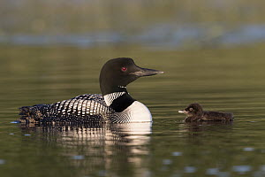 Common Loon (Gavia immer) parent with chick, Minnesota  -  Benjamin Olson