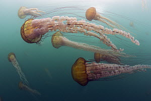 Pacific Sea Nettle (Chrysaora fuscescens) group, Monterey Bay, California  -  Richard Herrmann