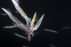 Squid (Loligo opalescens) multiple males attempting to mate with female, Catalina Island, California  -  Richard Herrmann