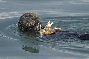 Sea Otter (Enhydra lutris) feeding on Dungeness Crab (Cancer magister) prey, Monterey Bay, California  -  Chase Dekker