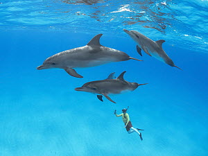 Atlantic Spotted Dolphin (Stenella frontalis) pod with snorkeler, Bahamas, Caribbean  -  Chase Dekker