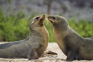 Galapagos Sea Lion (Zalophus wollebaeki) pair greeting, Santa Fe Island, Galapagos Islands, Ecuador  -  Tui De Roy