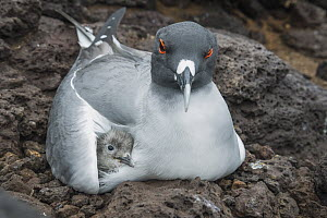 Swallow-tailed Gull (Creagrus furcatus) parent brooding chick, Plazas Island, Galapagos Islands, Ecuador  -  Tui De Roy