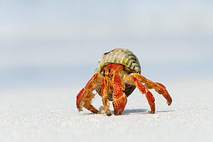 Strawberry Land Hermit Crab (Coenobita perlatus), Maldives - Tui De Roy