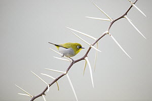 Cape White-eye (Zosterops capensis) perching on thorns, Garden Route National Park, South Africa  -  Richard Du Toit