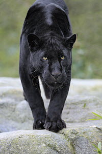 Jaguar (Panthera onca), melanistic morph, native to the Americas  -  Juergen & Christine Sohns