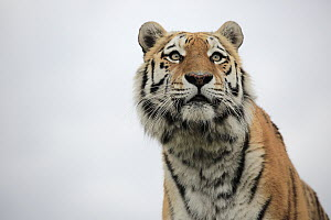 Bengal Tiger (Panthera tigris tigris), native to Asia  -  Juergen & Christine Sohns