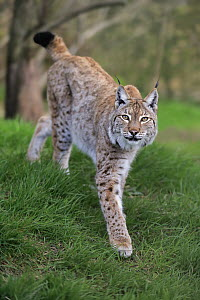 Eurasian Lynx (Lynx lynx), native to Europe  -  Juergen & Christine Sohns