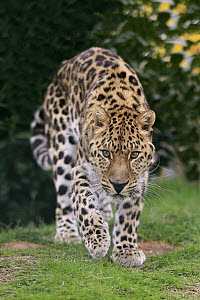 Northern Chinese Leopard (Panthera pardus japonensis), native to Asia  -  Juergen & Christine Sohns