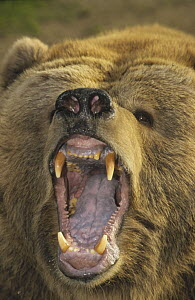 Kodiak Bear (Ursus arctos middendorffi) with mouth agape, native to Kodiak Island, Alaska  -  Matthias Breiter