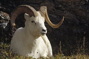 Dall's Sheep (Ovis dalli) ram with split horn, Denali National Park and Preserve, Alaska - Matthias Breiter