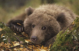 Grizzly Bear (Ursus arctos horribilis) cub in forest in fall, Katmai National Park, Alaska - Matthias Breiter