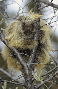 Common Porcupine (Erethizon dorsatum) in willow tree near the Denali highway, Alaska  -  Matthias Breiter
