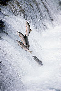 Sockeye Salmon (Oncorhynchus nerka) jumping upstream during spawning season, Brooks Falls, Katmai National Park, Alaska  -  Matthias Breiter
