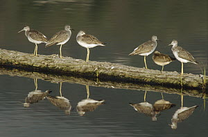 Greater Yellowlegs (Tringa melanoleuca) and Dowitcher (Limnodromus sp) on submerged log, Potters Marsh, Anchorage, Alaska - Matthias Breiter