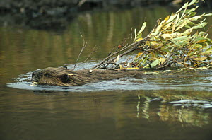 American Beaver (Castor canadensis) swimming with branch, Denali National Park and Preserve, Alaska - Matthias Breiter