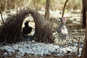 Great Bowerbird (Chlamydera nuchalis) male displaying in front of female in lek, Australia  -  Matthias Breiter