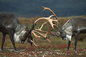 Caribou (Rangifer tarandus) two males sparring, Denali National Park and Preserve, Alaska - Matthias Breiter