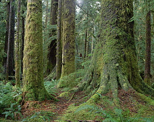 Sitka Spruce (Picea sitchensis) in coastal rainforest, Carmanah Valley, Vancouver Island, British Columbia, Canada - Matthias Breiter