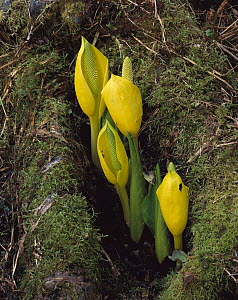 Western Skunk Cabbage (Lysichiton americanum) showing bright yellow spathe surrounding the club-like spadix, Cordova, Alaska - Matthias Breiter