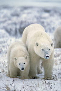 Polar Bear (Ursus maritimus) mother with cub in snow, Churchill, Manitoba, Canada - Matthias Breiter