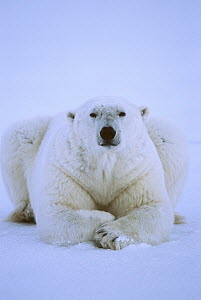 Polar Bear (Ursus maritimus) male resting on ice, Churchill, Manitoba, Canada  -  Matthias Breiter