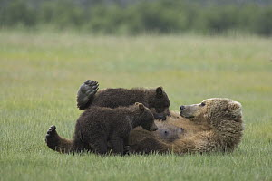Grizzly Bear (Ursus arctos horribilis) adult female nursing her two yearling cubs on sedge flats, Katmai National Park, Alaska - Matthias Breiter