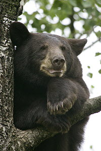 Black Bear (Ursus americanus) juvenile male in tree, Orr, Minnesota - Matthias Breiter