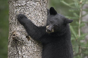 Black Bear (Ursus americanus) cub in tree safe from danger, Orr, Minnesota - Matthias Breiter
