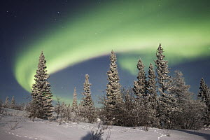 Northern lights or aurora borealis over boreal forest, North America  -  Matthias Breiter