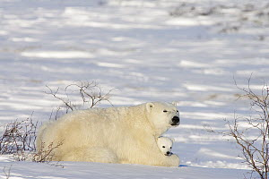 Polar Bear (Ursus maritimus) female with twelve week old cub, Canada  -  Matthias Breiter