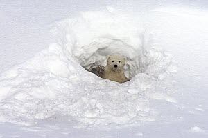 Polar Bear (Ursus maritimus) three month old cub looking out of its birth den, vulnerable, Wapusk National Park, Manitoba, Canada - Matthias Breiter