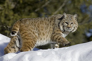 Bobcat (Lynx rufus) walking in the snow, bobbed tail visible, Kalispell, Montana  -  Matthias Breiter