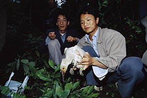 Crested Ibis (Nipponia nippon) bird researchers banding a hatchling, Shaanxi Province, China - Xi Zhinong