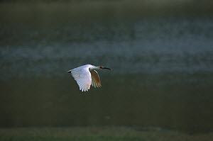 Crested Ibis (Nipponia nippon) flying over water, Yang Xian, Shaanxi, China - Xi Zhinong