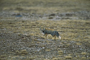 Tibetan Fox (Vulpes ferrilata) in open grassland, China  -  Xi Zhinong