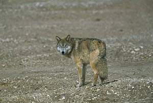 Timber Wolf (Canis lupus) adult standing on bare ground, looking back over its shoulder, Kekexili, Qinghai Province, China  -  Xi Zhinong