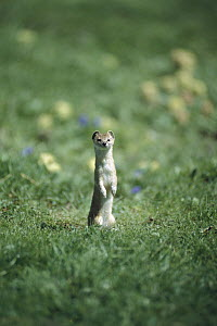 Least Weasel (Mustela nivalis) standing upright and alert in green grass, Asia - Xi Zhinong