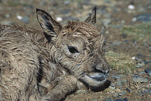 Chiru (Pantholops hodgsonii) newborn calf on the ground, Kekexili, Qinghai Province, China  -  Xi Zhinong