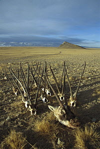 Chiru (Pantholops hodgsonii) confiscated skulls and antlers of poached males, Arjin Mountains, Xinjiang, northwestern China  -  Xi Zhinong
