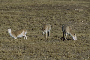 Chiru (Pantholops hodgsonii) three females grazing, Kekexili, Qinghai Province, China  -  Xi Zhinong