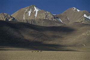 Chiru (Pantholops hodgsonii) small herd of four females walking across barren plain with mountains behind, Ari, Tibet  -  Xi Zhinong