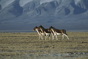 Tibetan Wild Ass (Equus hemionus kiang) three walking on grassy plain, Kekexili, Qinghai Province, China  -  Xi Zhinong