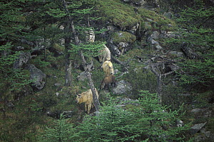Takin (Budorcas taxicolor) herd walking down forested rocky slope, Qinling Mountains, Shaanxi, China - Xi Zhinong