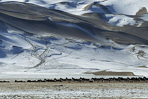 Tibetan Wild Ass (Equus hemionus kiang) herd standing alert in snowy plain with mountains behind, Asia - Xi Zhinong