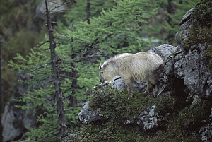 Takin (Budorcas taxicolor) adult standing on rocky ground, Qinling Mountains, Shaanxi, China  -  Xi Zhinong