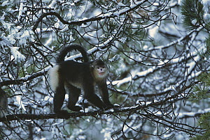Yunnan Snub-nosed Monkey (Rhinopithecus bieti) in snow-covered tree, China  -  Xi Zhinong
